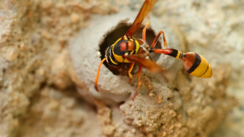 profundidade de campo rasa : Potter wasp busy activity building its nest of mud, close up macro detail static shot in hd. Stock Footage