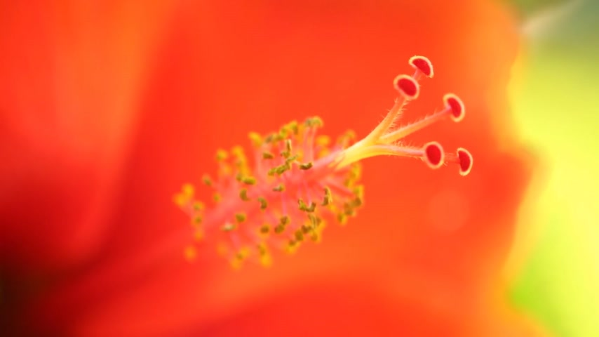 estigma : Stamen of the hibiscus rosa-sinensis also none as chinese hibiscus, hawaiian hibiscus, and shoeblack plant from the mallow family, stamen macro close up in high definition.