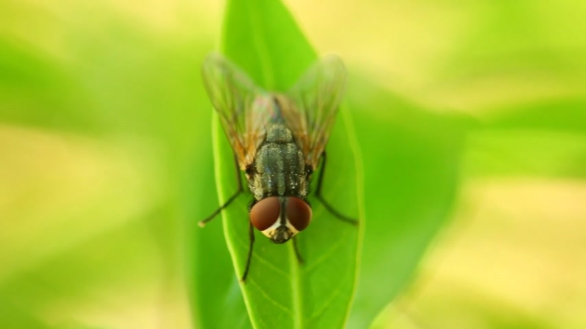 mucha : Insect common housefly perched on vibrant green leaf foliage, macro closeup static shot in hd. Insects close up fly musca domestic.