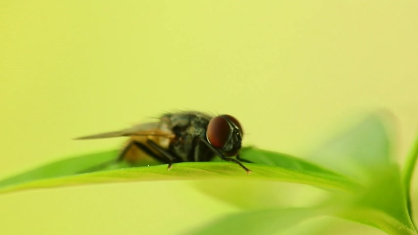 common : Insect common housefly perched on vibrant green leaf foliage, macro closeup static shot in hd. Insects close up fly musca domestic.