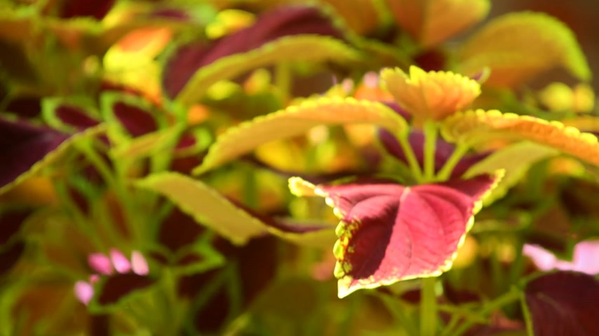 bulanik : Vibrant red, green leaves of the coleus plant sunlit garden scene, panning close up shot. Stok Video