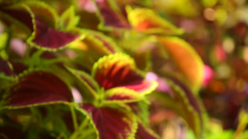 yemyeşil bitki örtüsü : Defocused vibrant red, green leaves of the coleus plant sunlit garden scene, static close up shot. Stok Video