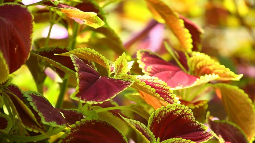 yemyeşil bitki örtüsü : Vibrant red, green leaves of the coleus plant sunlit garden scene, static close up shot. Stok Video