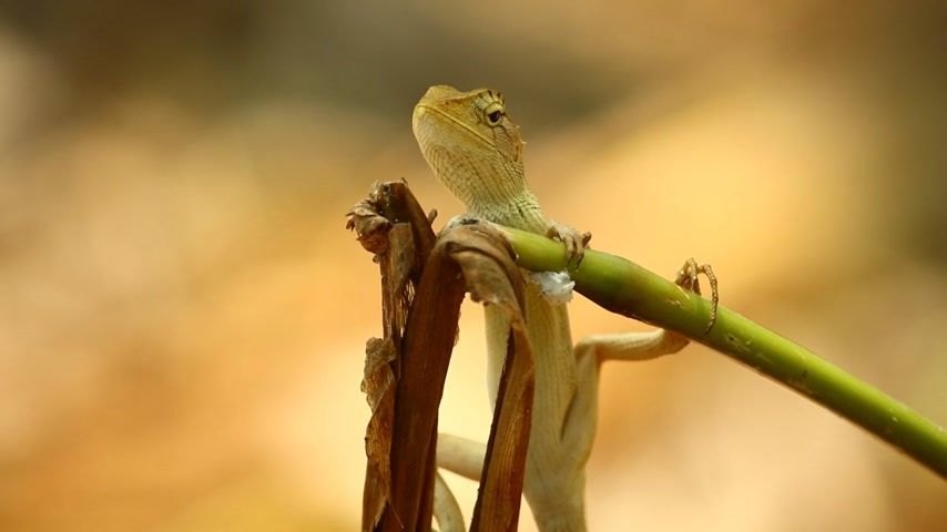 pullu : Oriental garden lizard or garden lizard, agamid lizard, agamidae family also know as dragon lizards. Basking on a dead plant stem hd static shot close-up. Bokeh nature background in the wild. Stok Video