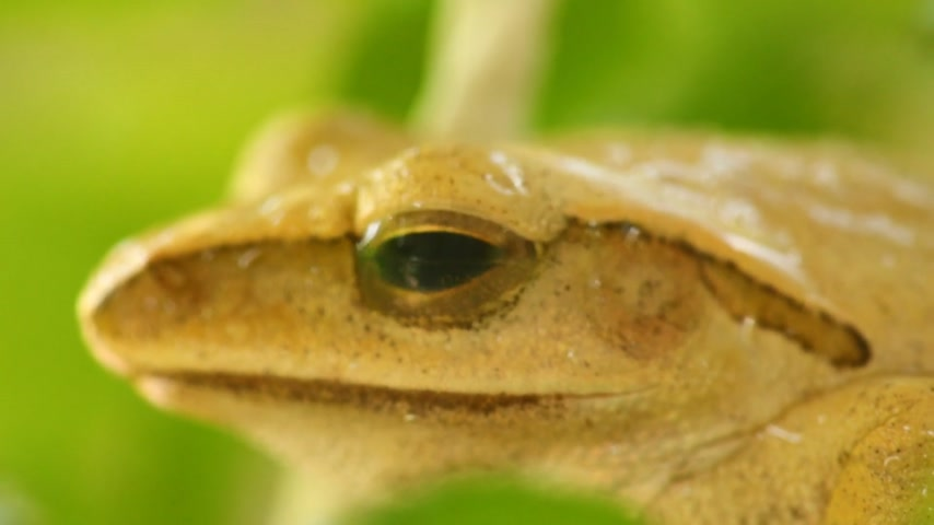 бежевый : Golden tree frog head and eye macro close up static shot, sat amongst green foliage with bokeh background. Tree frog, amphibian animal.