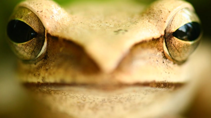 kétéltű : Flying tree frog head mouth and eyes macro portrait close up static shot, sat amongst green foliage with bokeh background. Golden tree frog, amphibian animal.