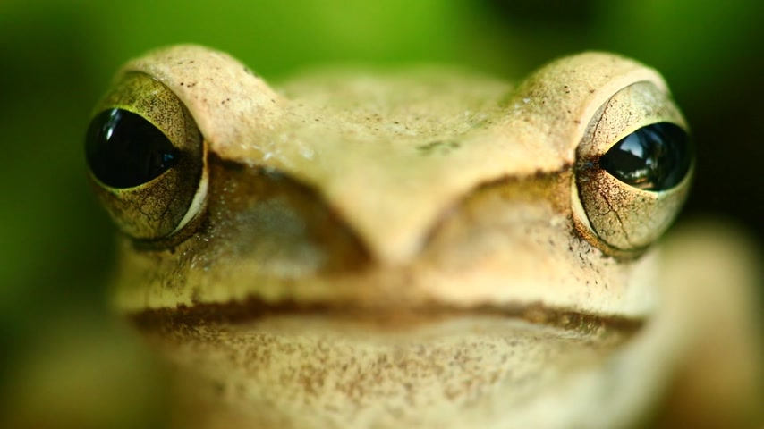 anura : Flying tree frog head mouth and eyes macro portrait close up static shot, sat amongst green foliage with bokeh background. Golden tree frog, amphibian animal.