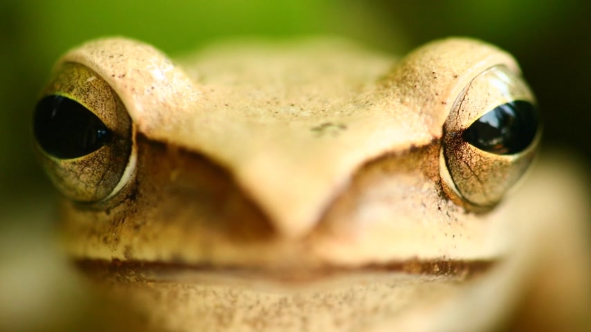бежевый : Flying tree frog head mouth and eyes macro portrait close up static shot, sat amongst green foliage with bokeh background. Golden tree frog, amphibian animal.