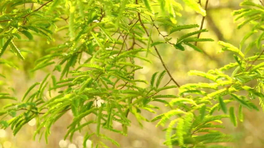 subtropical : Vibrant green foliage of the tamarind tree catching the afternoon sunlight, bokeh nature backdrop. Static shot with beautiful green tropical vegetation. Stock Footage