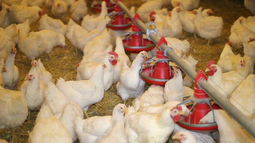 farm equipment : Chicken Farm, poultry production Stock Footage