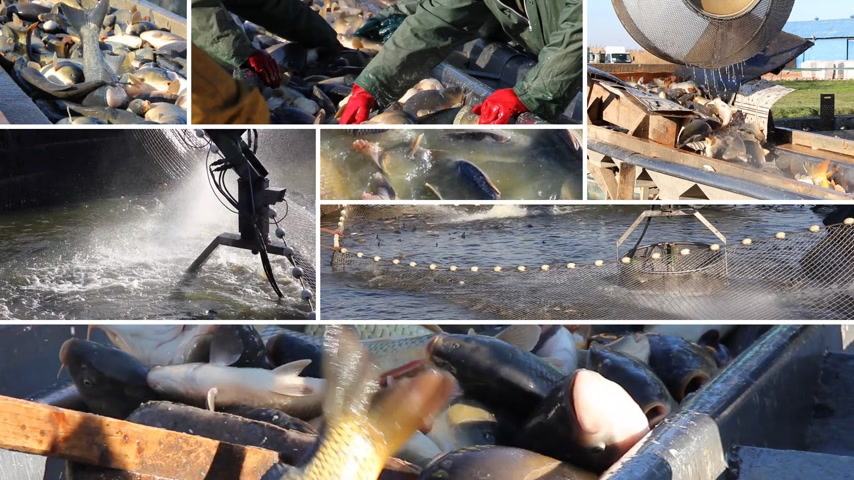 fishermen : Fishermen catching and sorting a freshwater fish out of the fish pond and preparing for sale. Several different video clips in one video footage, collage