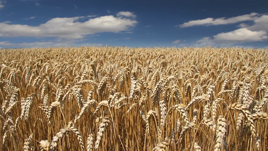 pszenica : Golden wheat fields, timelapse Wideo