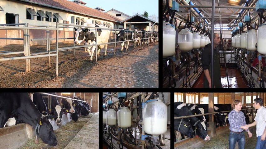 rolnik : Milking cows on farm, working with dairy equipment, collage. Milk production and feeding cows on the farm.