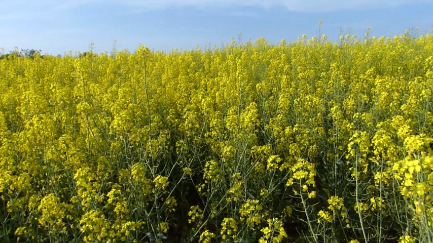 tohum : Beautifully yellow oilseed rape flowers in the field. Walking through the crop