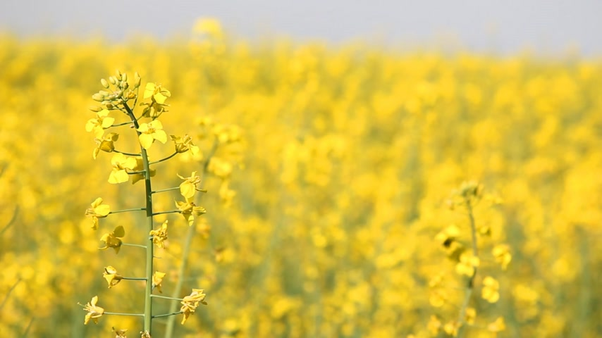 petróleo : Beautifully yellow oilseed rape flowers in the field Stock Footage