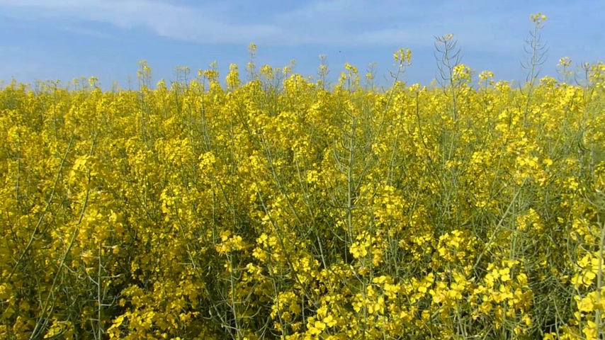 tohum : Beautifully yellow oilseed rape flowers in the field Stok Video