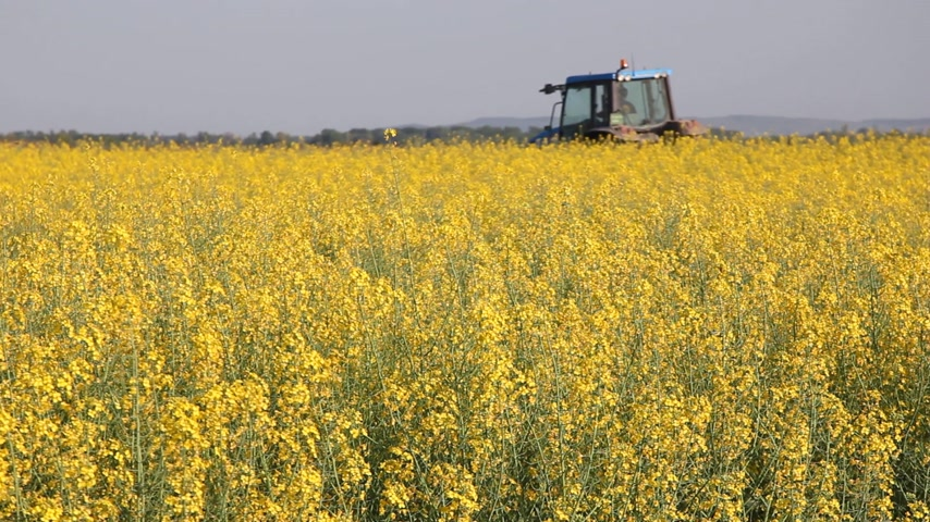 üretmek : Beautifully yellow oilseed rape flowers in the field. Two tractors in the background. Stok Video