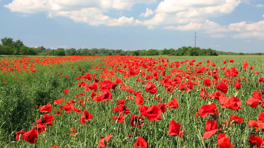 bloesemboom : Poppy bloemen, landschap Stockvideo