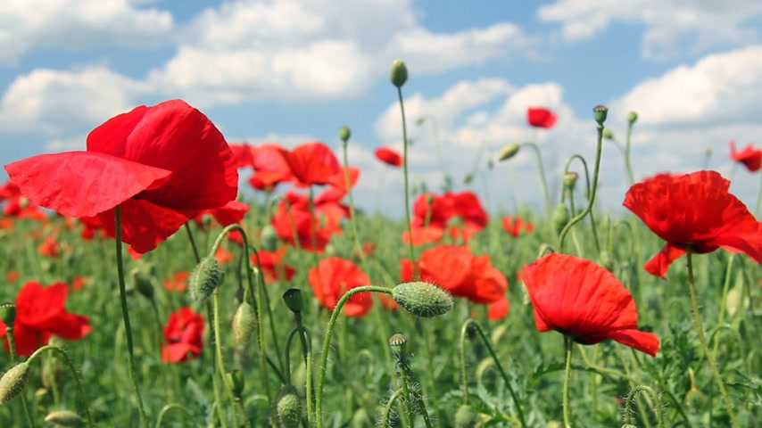 mák : Beautiful poppy flowers dancing in the wind, sunny and cloudy day