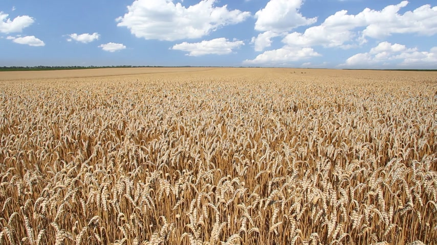 pszenica : Golden wheat fields is ripe and ready for harvest Wideo