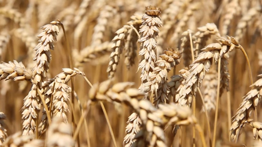 pszenica : Golden wheat fields dancing in the wind