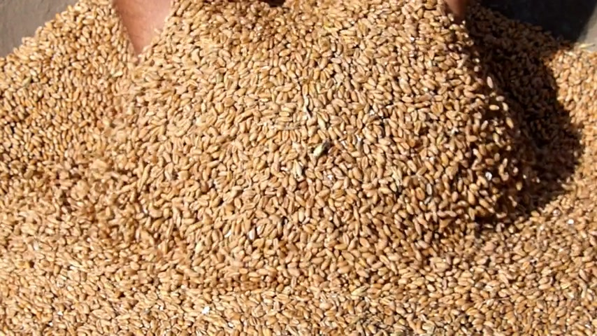 tohum : Wheat grain in a hand after good harvest of successful farmer, slow motion
