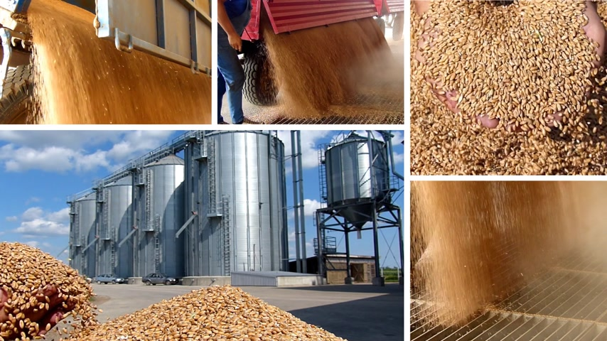 dożynki : Wheat grain in a hand after good harvest of successful farmer and unloading wheat in silo, slow motion, multiscreen