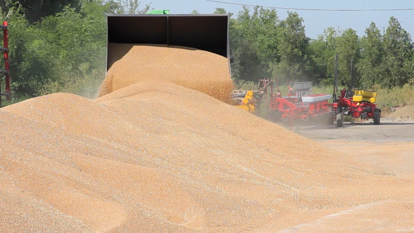üretmek : Loader transports wheat after harvest, two video clips in one video footage