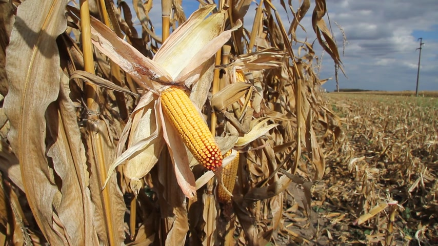 üretmek : Ripe corn in the field is dry and ready for harvest