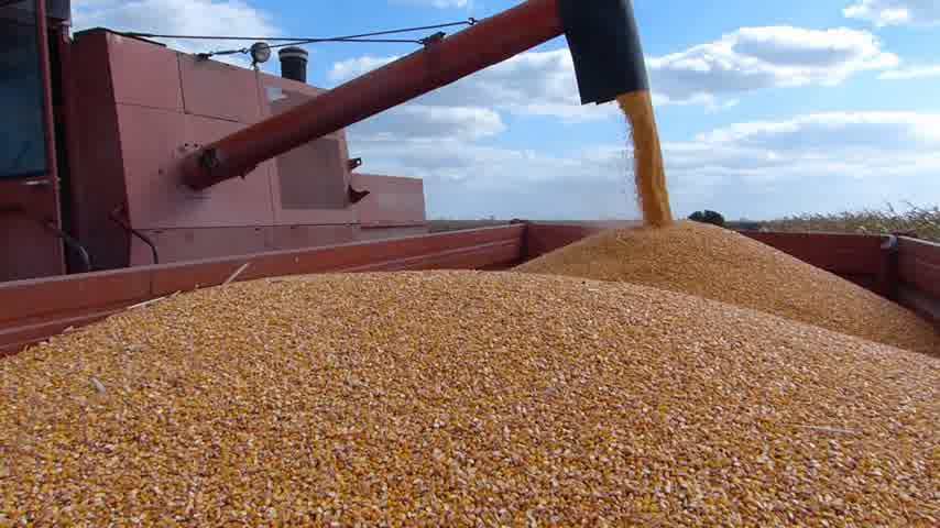 milho : Combine harvesting corn and unloading into a trailer