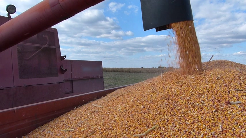 colheita : Combine harvesting corn and unloading into a trailer