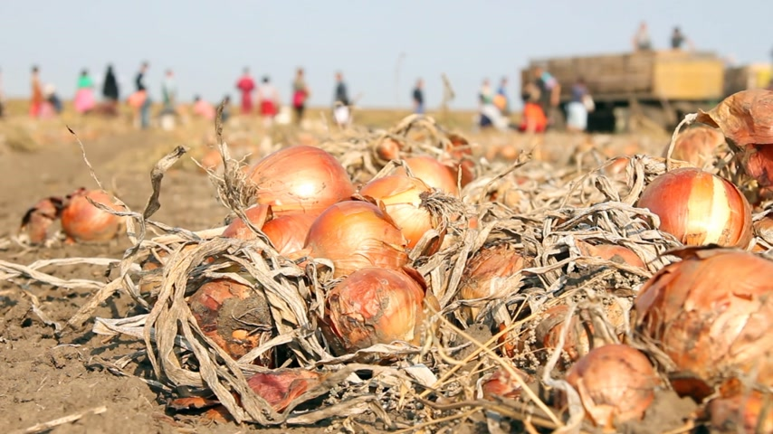 cebula : Harvesting onion on field. Workers picking and transporting to the warehouses Wideo