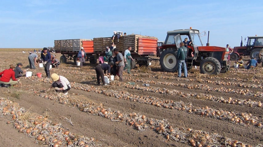üretmek : Harvesting onion on field. Workers picking and transporting to the warehouses Stok Video