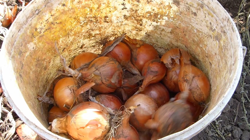 üretmek : Collected onions in a bucket after harvest