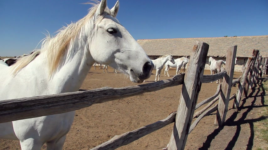 копыто : Beautiful white Lipizzaner horses at the farm Стоковые видеозаписи