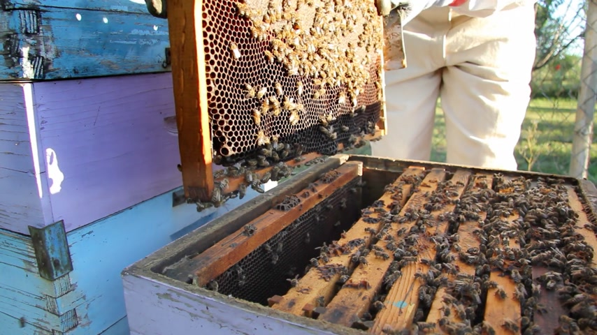 pszczoła : Beekeeper puts the honeycomb in a hive