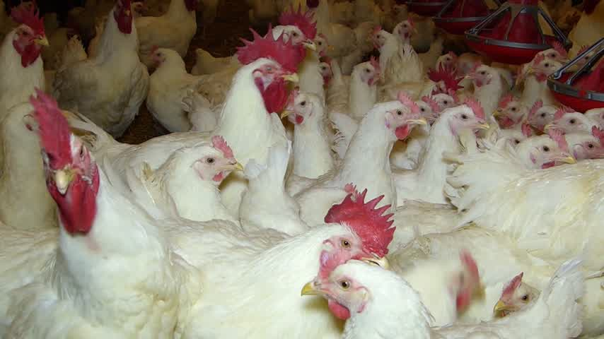 population explosion : Poultry Farming, Hen and Rooster