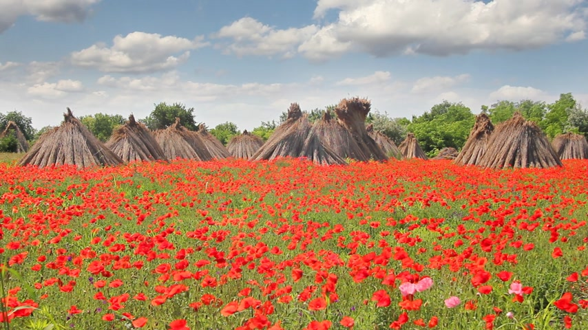 haşhaş : Poppy field landscape and stacked cropped dry reed