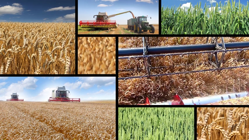 üretmek : Production of wheat, collage. Green wheat, combine harvesting, wheat grain in a hand after good harvest of successful farmer