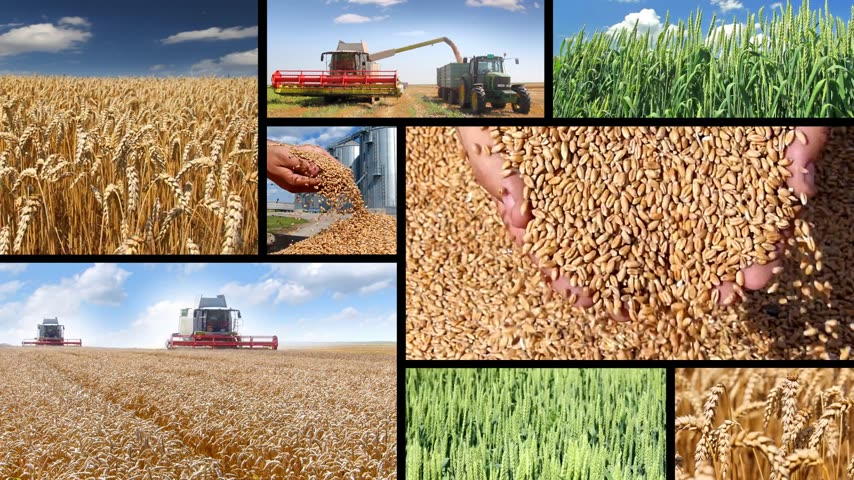çiğ gıda : Production of wheat, collage. Green wheat, combine harvesting, wheat grain in a hand after good harvest of successful farmer