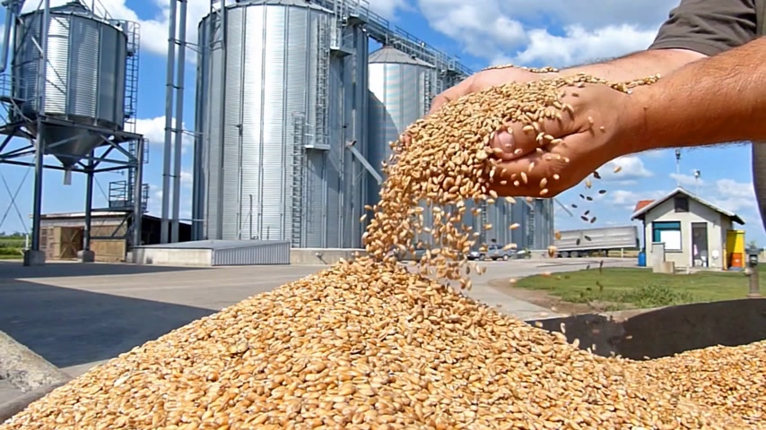 rolnik : Wheat grain in a hand after good harvest of successful farmer, slow motion