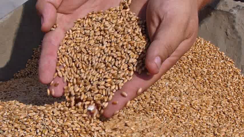 üretmek : Wheat in a hand, good harvest