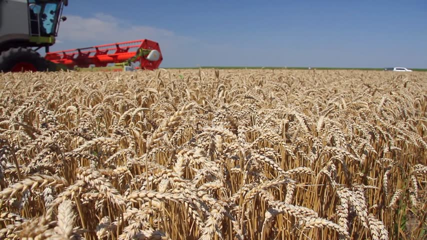 kombájn : Wheat harvest, combine in action and locusts escape from the machinery Stock mozgókép