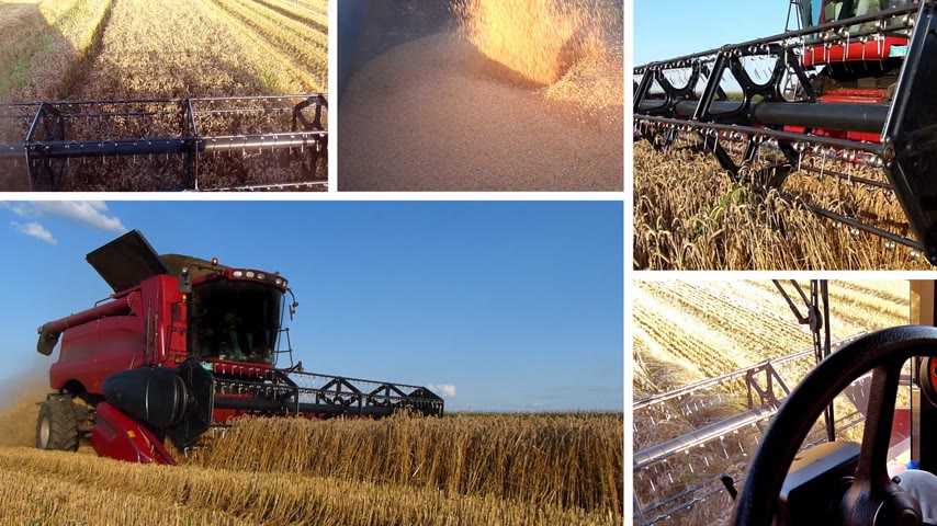 industry : Good harvest of successful farmer and unloading wheat in a silo, multiscreen