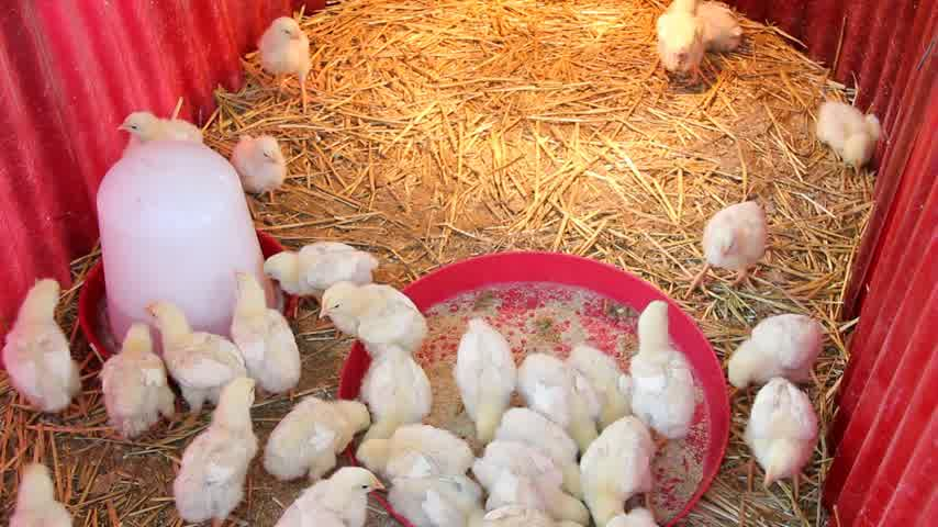 tavuk : Baby chicken on chicken farm, poultry production