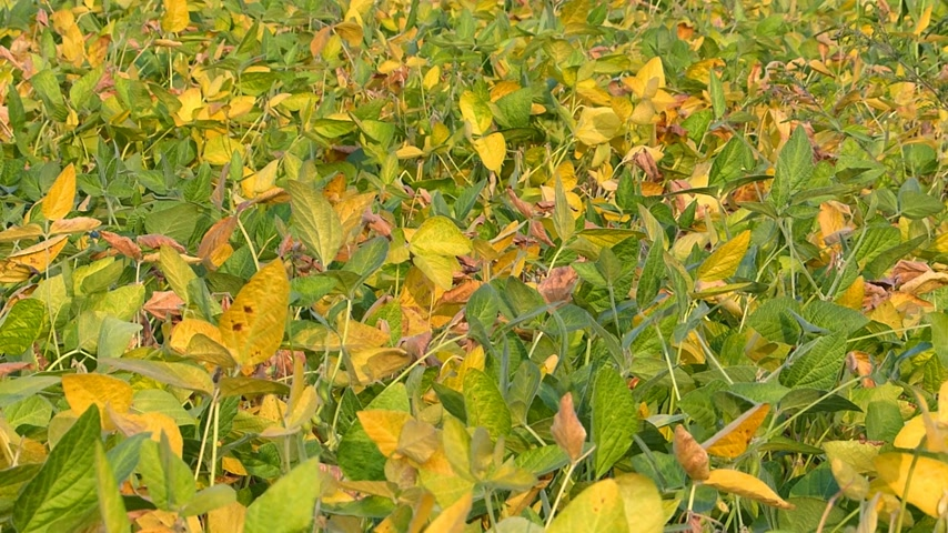 üretmek : Soybean field at summer Stok Video