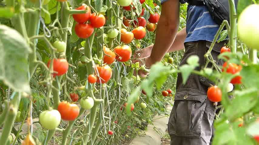 rajčata : Farmer picking tomato in the greenhouse