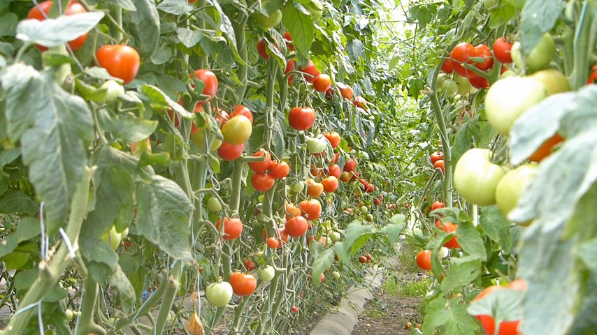 rajčata : Ripe tomato in a greenhouse, ready for picking