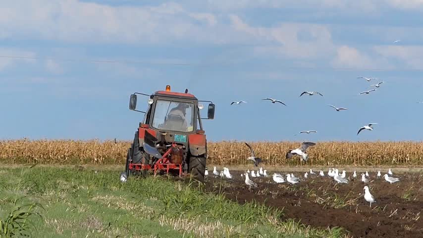 plowman : Tractor plowing a field and lots of gulls and starlings flying around