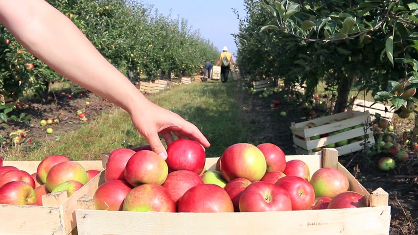 feltörés : Cart full of apples after picking in a orchard Stock mozgókép